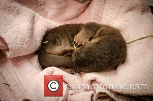 Newborn North American River Otter Pup 1