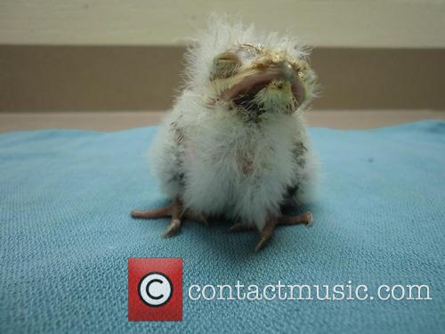 Tawny Frogmouth Chick 3