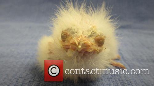 Tawny Frogmouth Chick 1