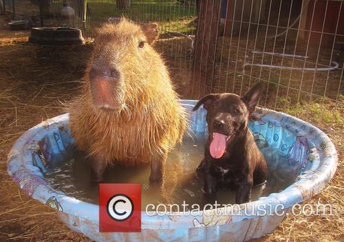 Rocky and Cheesecake The Capybara