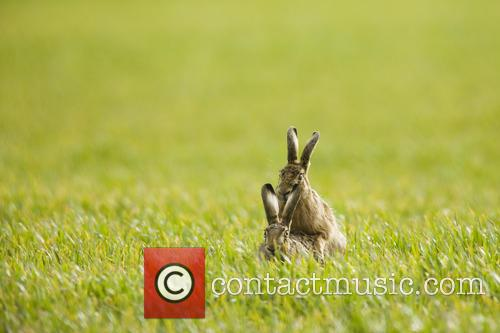 Brown Hare and Lepus 4