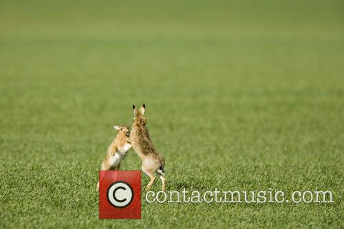 Brown Hare and Lepus 5