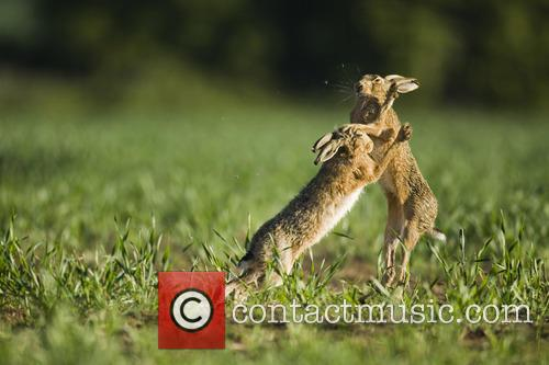 Brown Hare and Lepus 6