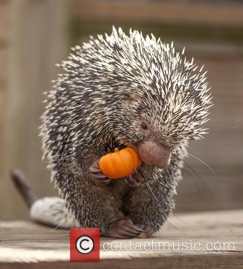 Porcupine Eats Pumpkin 1