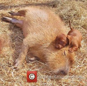 Cheesecake the Capybara and puppy - Twenty years ago Janice Wolf fulfilled her ambition of creating a rescue centre for...