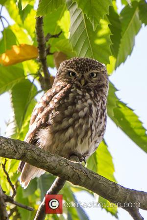 A rare sighting of Little owl Owlets spotted in Central London's Hyde Park -  United Kingdom - Wednesday 6th...